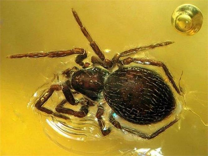 Hay như con nhện này, được bảo quản hoàn hảo thậm chí đến cả từng sợi lông tơ.