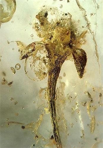 Còn đây là một bông hoa tí hon thời cổ đại. Quá khứ và thời gian được lưu giữ trong hổ phách thực sự là một kho báu đối với kiến thức của con người.