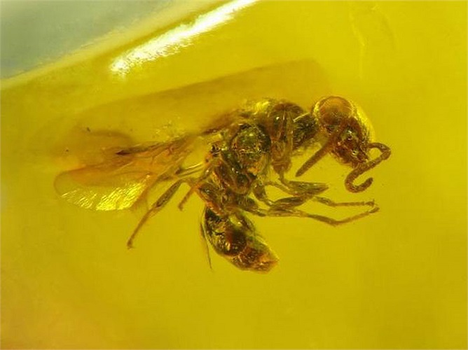 """Con """"ong lai kiến"""" này cũng là từ Kỷ Phấn Trắng, nó là minh chứng cho hiện tượng phân loài trong cây tiến hóa."""