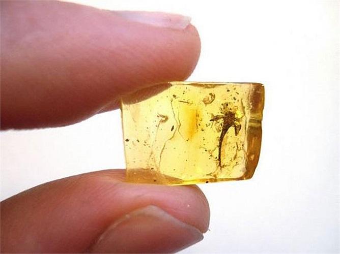 Còn đây là một trong những miếng hổ phách lâu đời nhất, từ Kỷ Than Đá, khoảng 150 triệu năm về trước.