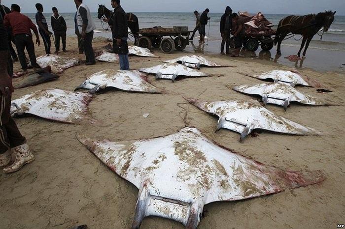 Bãi biển Gaza của Palestine bỗng dưng tràn ngập những con cá đuối gai khổng lồ