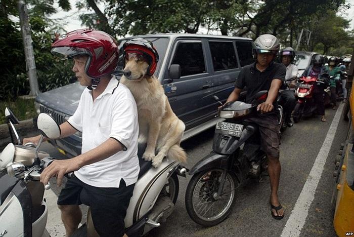 Chú chó được chủ cho đội mũ bảo hiểm ở Indonesia