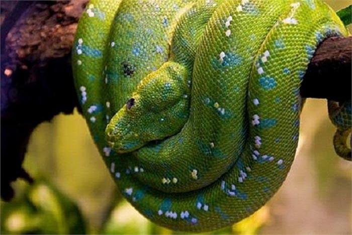 Loài trăn này có tên khoa học là Corallus Caninus, sinh sống chủ yếu tại Nam Mỹ và rừng Amazon.