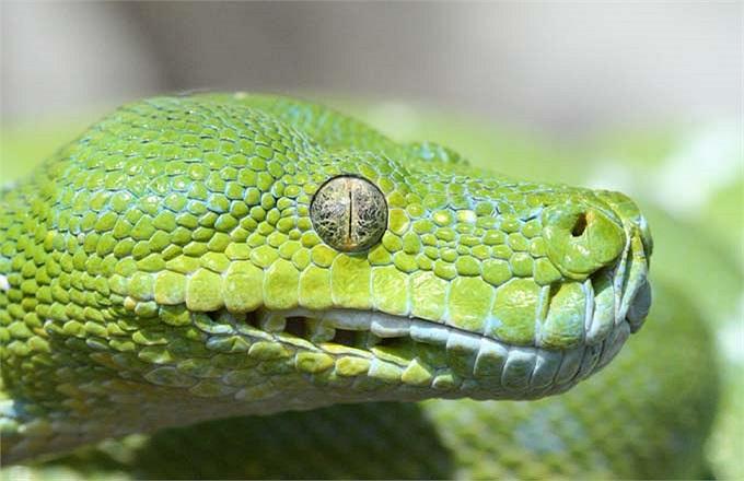 Với cái miệng rộng, nó đủ sức nuốt chửng con mồi nặng gấp đôi cơ thể nó