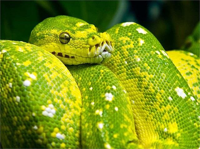Loài này được tìm thấy ở Nam Mỹ ở lưu vực Amazon của Colombia, Ecuador, Peru, bắc Bolivia, Brazil, và từ Venezuela đến Surinam và Guianas