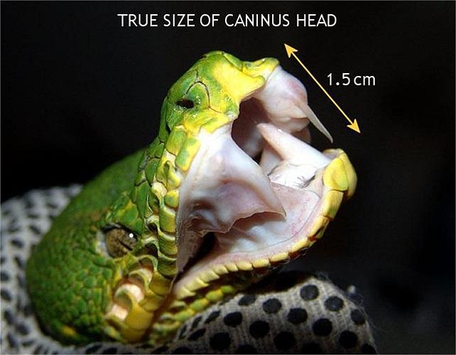 Trăn xanh Amazon này có kích thước lên đến 1,8m và sỡ hữu 2 răng nanh phát triển lớn vượt trội so với các loài trăn khác.