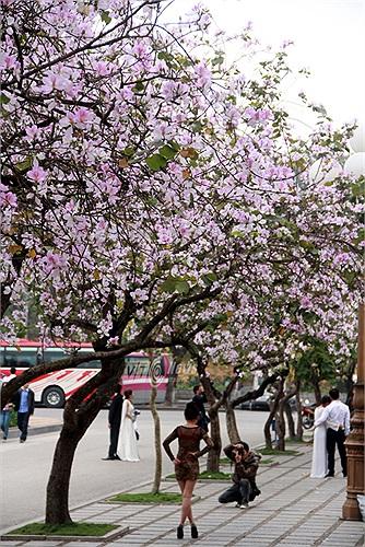 Những ngày này, trên con đường Bắc Sơn đối diện lăng Bác đang được nhuộm tím màu của hoa ban núi rừng Tây Bắc (Ảnh: Phạm Thịnh)