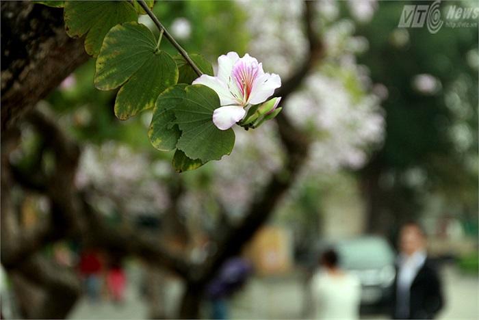 Hoa ban trên đường Bắc Sơn được trồng từ những năm 1960, là loài hoa ban tím