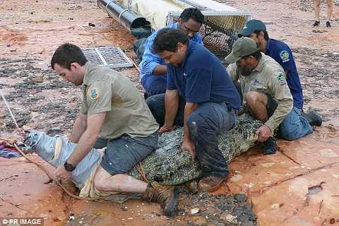 5 người đàn ông khỏe mạnh mới có thể tóm gọn chú cá sấu khổng lồ.