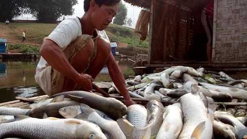 Hơn 17 tấn cá của người dân thanh hóa đã chết do việc xả thải không phép của các nhà máy.