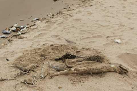 Cá chết gây ô nhiễm nghiêm trọng ven biển các xã Kỳ Anh Hà Tĩnh trong khi các cơ quan chức năng vẫn chưa đứng ra xử lý tình trạng này.