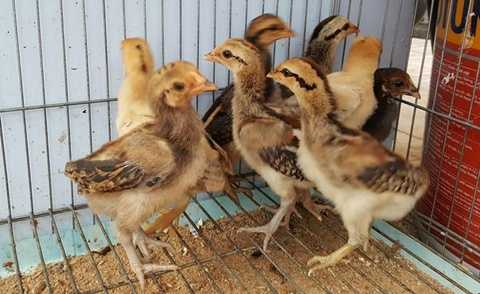 Gà vảy rồng giống có giá trên dưới 400.000 đồng/con. Theo anh Quang, hiện nay gà vảy rồng đang được giới đấu gà săn lùng ráo riết, chỉ cần có hàng đẹp, thiện chiến họ sẵn sàng bỏ cả chục triệu đồng để mua.