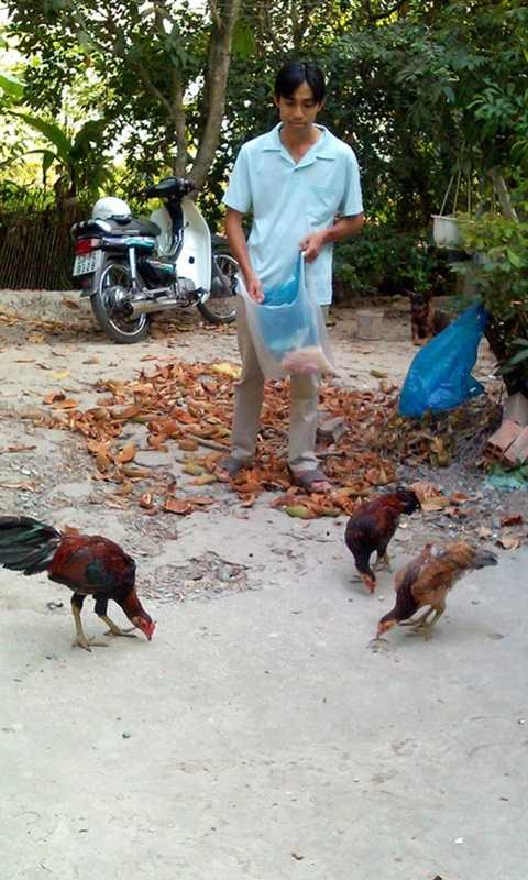 Anh Vinh đang bỏ thức ăn cho đàn gà vảy rồng ăn tại trang trại của gia đình ở tỉnh Vĩnh Long.