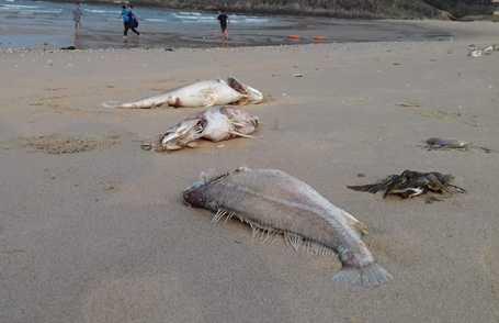 Chiều nay, Bộ TNMT sẽ thông tin chính thức về nguyên nhân cá chết hàng loạt ở miền trung