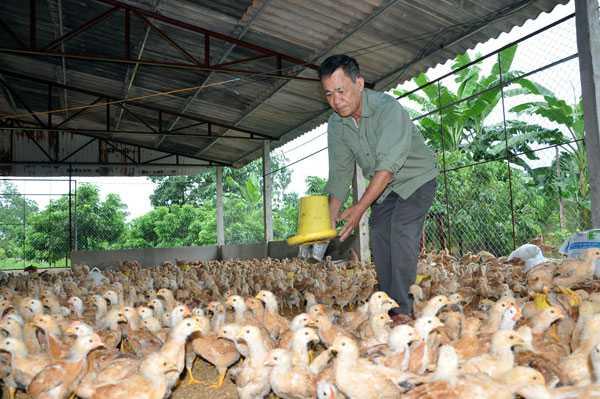 """Cho nhập gà Trung Quốc, người chăn nuôi trong nước sẽ """"chết"""" (ảnh ông Lý Văn Tiệp, chủ trang trại chăn nuôi gà ở Đại Từ, Thái Nguyên chăm sóc đàn gà của gia đình). Ảnh:Trần Quang"""