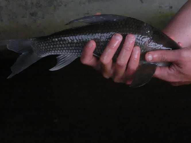 Thân giống cá chép