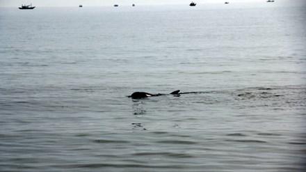 Cá heo dài khoảng 1,5m, nặng chừng 150kg lượn lờ gần bãi biển Đà Nẵng rạng sáng 20/5.