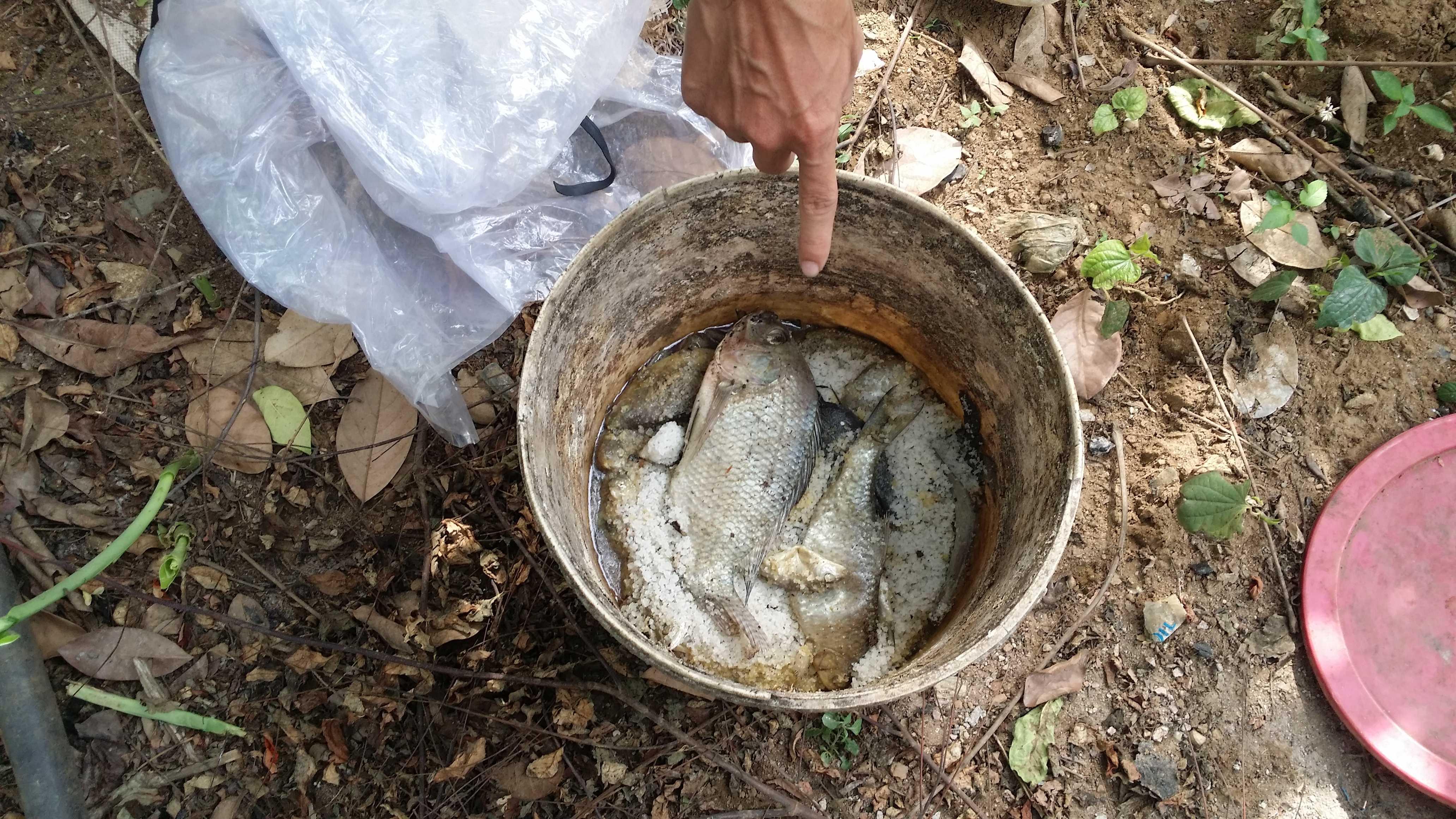 Cá chết được người dân ủ làm mắm cho gia súc.