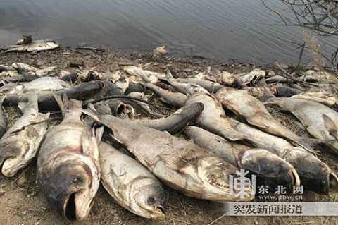 Xác cá chết hàng loạt ở Hắc Long Giang