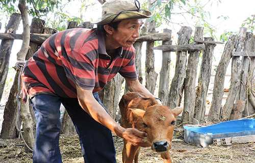 Chú bê một tháng tuổi của ông Phạm Bảo đang chết dần vì bò mẹ không có sữa uống. Ảnh: Thiên Thiên