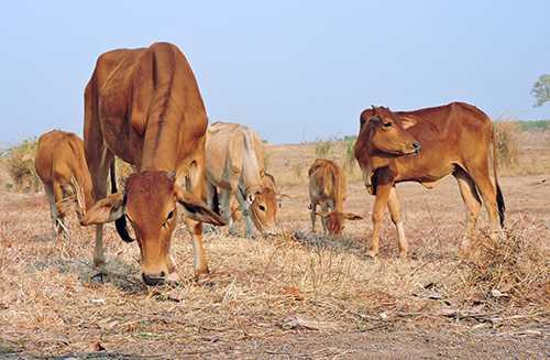 Cánh đồng chết khô, trâu bò không có thức ăn. Ảnh: Thiên Thiên