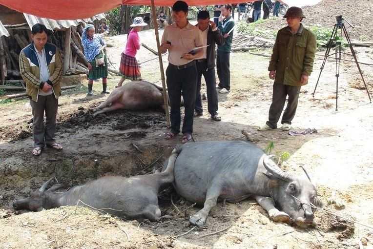 5 con trâu ông Sài bị sét đánh chết ước tính thiệt hại hơn 130 triệu đồng