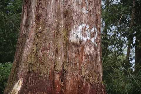 Đánh dấu cho những cây Pơmu cao vút, thẳng đứng