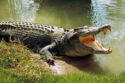 Con cá sấu được gia đình ông George Haritos nuôi từ năm 1958.