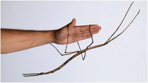 Loài côn trùng khổng lồ được phát hiện bởi ông Zhao Li ở vùng núi Quảng Châu, Trung Quốc.