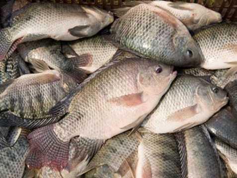 Nguyên liệu chính của món bún cá ở Hà Nội thường lá cá rô phi. Tuy nhiên, với những bát bún cá siêu bẩn thì những miếng cá rô phi rán giòn này được làm từ một quy trình đáng kinh hãi. Ảnh minh họa.