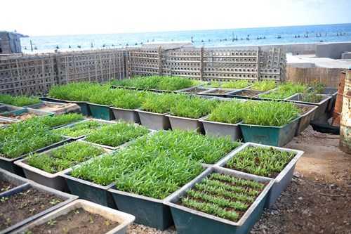 Ấn tượng vườn rau và nhà giàn DK1 của lính đảo Trường Sa