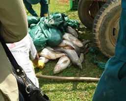 Cá chết nhiều tại nhà ông Ý (xã Thạch Định, Thạch Thành, Thanh Hóa). Ảnh Trọng Phú