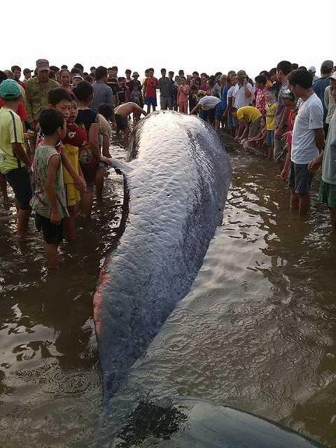 Con cá voi dài khoảng 15m đang mắc cạn