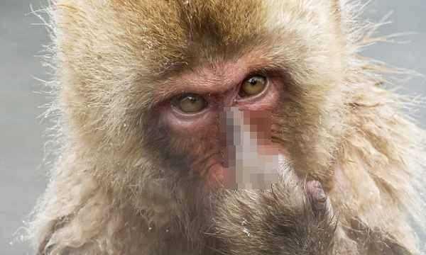 Khỉ con giơ ngón tay giữa