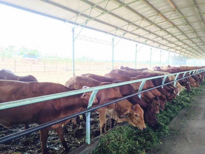 Trang trại bò sữa của Hoàng Anh Gia Lai tại Appateu, Lào