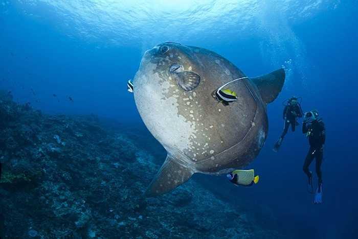Cá thiên thần đang giúp 'làm sạch' cho cá Thái Dương ở vùng biển gần hòn đảo Bali, Indonesia