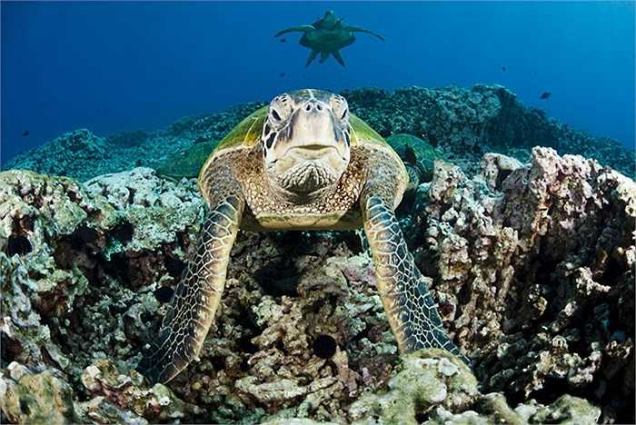 Những con rùa xanh tập kết ở trạm làm sạch tự nhiên ở ngoài khơi vùng biển West Maui, Hawaii