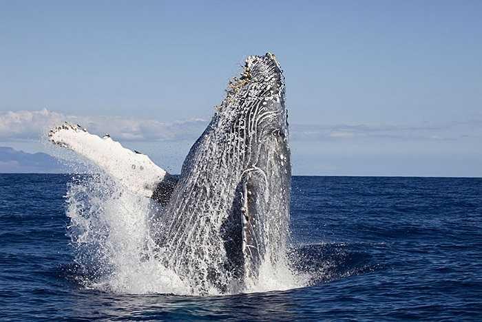 Cá voi lưng gù nhô lên mặt nước ở Hawaii
