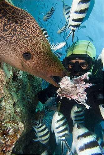 Một thợ lặn đang cho chú lươn biển khổng lồ ăn ở ngoài khơi đảo Bequ Lagoon, Fiji.