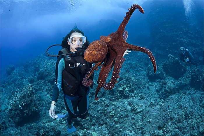 Thợ lặn đang chơi đùa với một con bạch tuộc ở quần đảo Hawaii