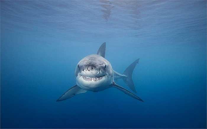 Cá mập trắng nhe răng gần đảo Guadalupe, Mexico
