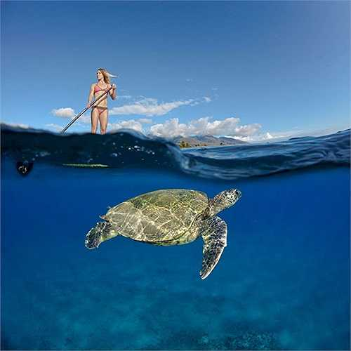 Chú rùa biển xanh đang bơi cạnh nữ huấn luyện viên lướt ván xinh đẹp ở ngoài khơi bãi biển Canoe, Maui, Hawaii, Mỹ.
