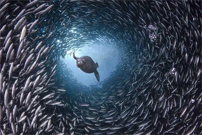Sư tử biển đang bơi qua một hang cá để tìm mồi ở quần đảo Galapagos, phía Tây ngoài khơi bờ biển Ecuador