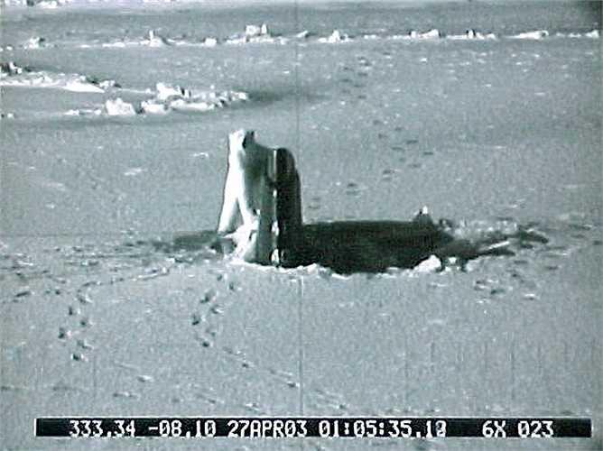 Năm 2004, tàu Connecticut đã bị một chú gấu Bắc Cực tấn công trong vòng 40 phút vì tò mò khi phát hiện ra 'vật thể lạ' trong địa bàn của mình