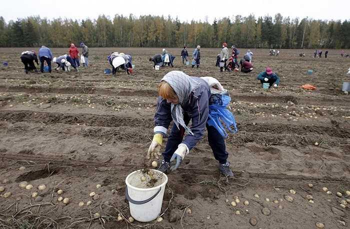 Nông dân thu hoạch khoai tây trong trang trại ở làng Krynitsa, Belarus