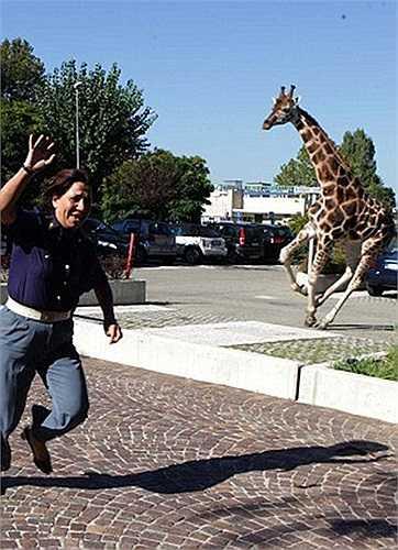 Một người phụ nữ địa phương hốt hoảng bỏ chạy khi thấy chú hươu khổng lồ lao tới phía mình