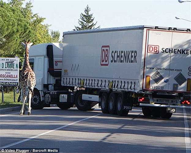 Các phương tiện giao thông được yêu cầu chuyển hướng đi do sự xuất hiện đột ngột của một 'sinh vật khổng lồ' trên đường phố