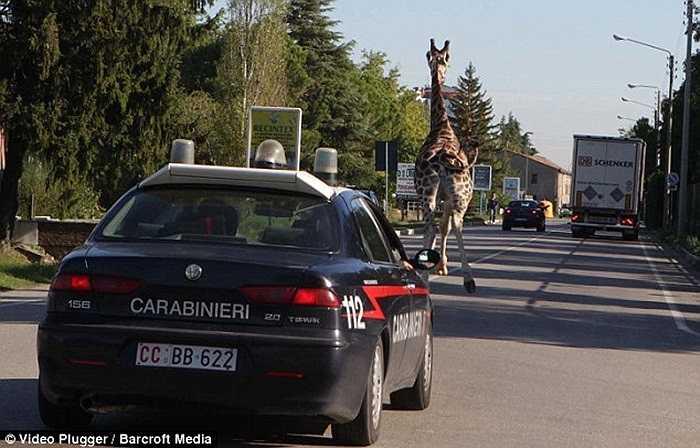 Cảnh sát chưa thể vây bắt chú hươu trên đường đông đúc xe cô qua lại nên ban đầu chỉ cố gắng bám theo dấu vết 'kẻ đào tẩu'