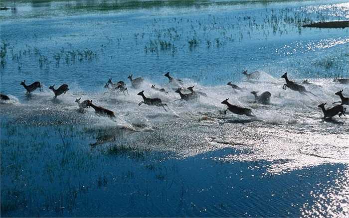 Bầy linh dương đỏ đang chạy dọc theo bờ sông Okavango tại Botswana trong mùa lũ
