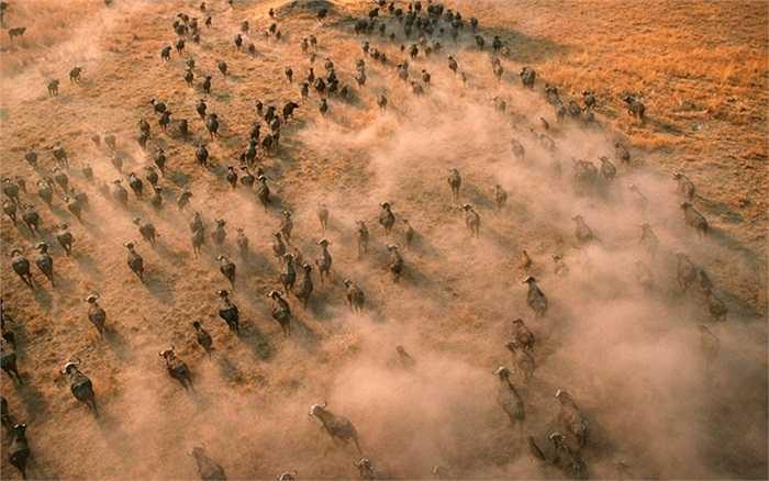 Đàn trâu rừng đang chạy ở vùng đồng bằng sông Okavango, Botswana